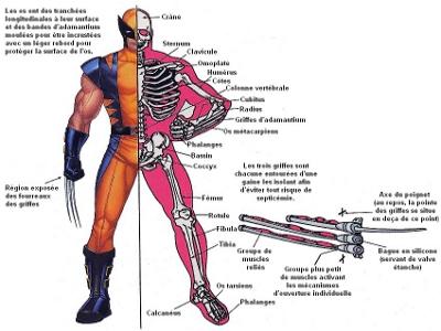 Squelette de Serval